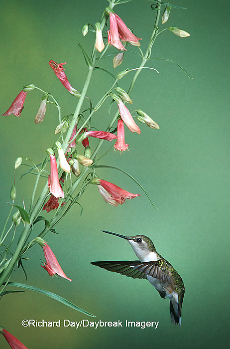 01162-054.19 Ruby-throated Hummingbird (Archilochus colubris) female on Penstemon (Penstemon barbatus) Shelby Co.  IL