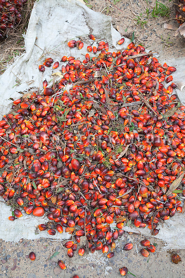 A pile of Individual ripe oil palm fruits on a canvas sheet. The Sindora Palm Oil Plantation, owned by Kulim, is green certified by the Roundtable on Sustainable Palm Oil (RSPO) for its environmental, economic, and socially sustainable practices. Johor Bahru, Malaysia
