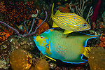 Queen Angelfish (Holacanthus ciliaris) and French Grunt (Haemulon flavolineatum) photographed in the Breakers Reef in Palm Beach, FL