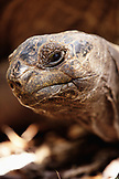 MAURITIUS, Ile aux Aigrettes, a 90 year old 260 kilo giant tortoise called Aldabra