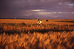 A photo of a man mountain biking the Continental Divide Trail near Driggs, ID. He is riding through a field of ripe wheat and the teton mountains are in the background.