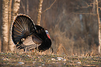 Male eastern wild turkey strutting in spring