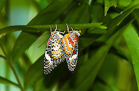 A pair of Leopard Lacewings (Cethosia cyane) mating while hanging upside down under a leaf. (Cambodia)