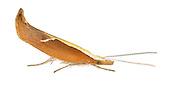 17.003 (0453)<br /> Honeysuckle Moth - Ypsolopha dentella