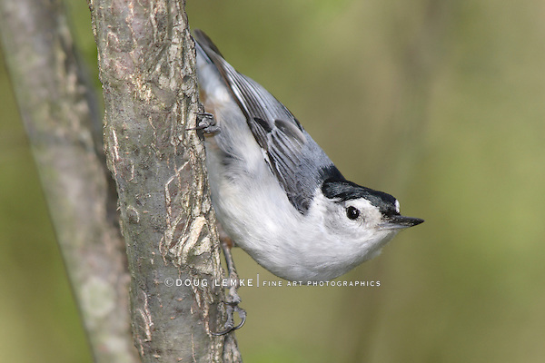 White Breasted Nuthatch, In A Typical Nuthatch Pose, Sitta carolinensis