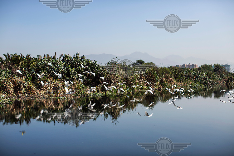 A flock of herons take flight over the black-water's of a fetid canal that connects Lagao da Tijuca with Lagoa da Jacarepagua in Barra da Tijuca, the district housing much of the 2016 Olympic's infrastructure. <br /> Two decades of development has destroyed much of the area's natural habitat area and newly built luxury condominiums release raw sewage into the once-pristine lagoons and their connecting canals.