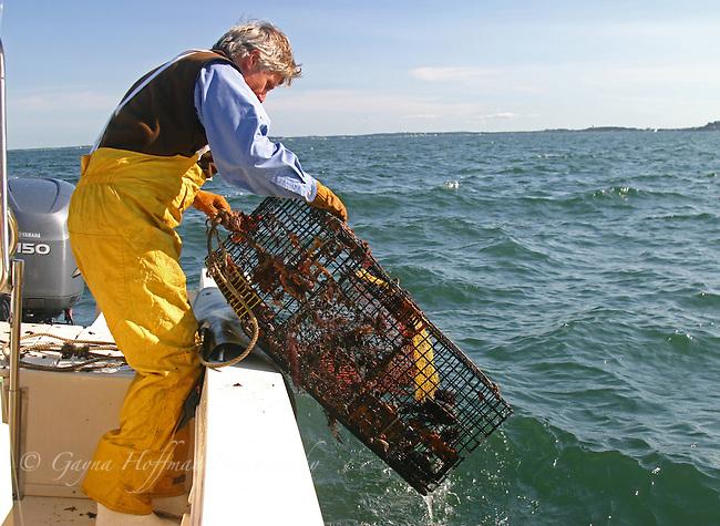 Man pulling lobster trap from ocean. Boston Harbor, MA