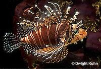 TP03-019z  Dwarfed Lionfish - Zebra Lionfish - Dendrochirus zebra
