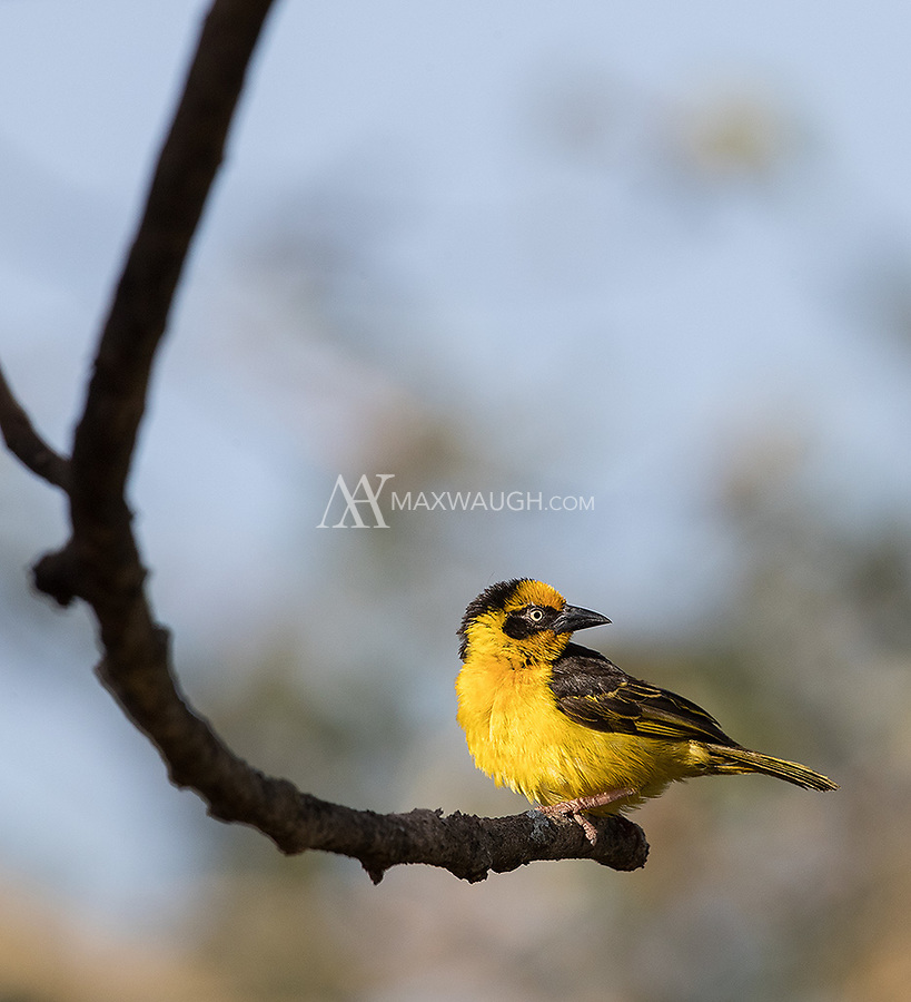 A new species of weaver for me, seen in Arusha National Park.