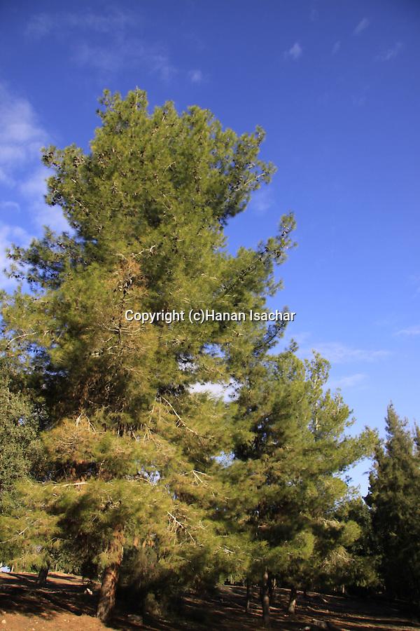 Israel, Shephelah, Pine Trees in Hulda forest