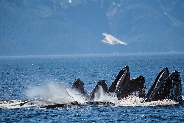 Humpback whales (Megaptera novaeangliae) bubble net feeding (probably on herring balls).  Alaska.  Summer.