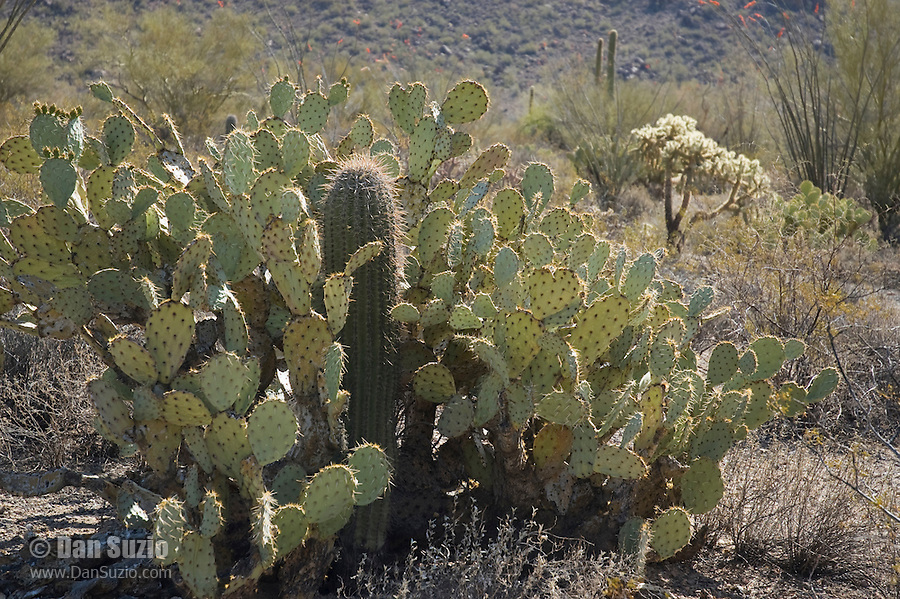 "Saguaro, Carnegiea gigantea, growing in shelter of Engelmann's prickly pear, Opuntia phaeacantha discata. Saguaros often grow under ""nurse plants"" where shade and moisture provide better conditions for germination.  Saguaro National Park, Arizona"
