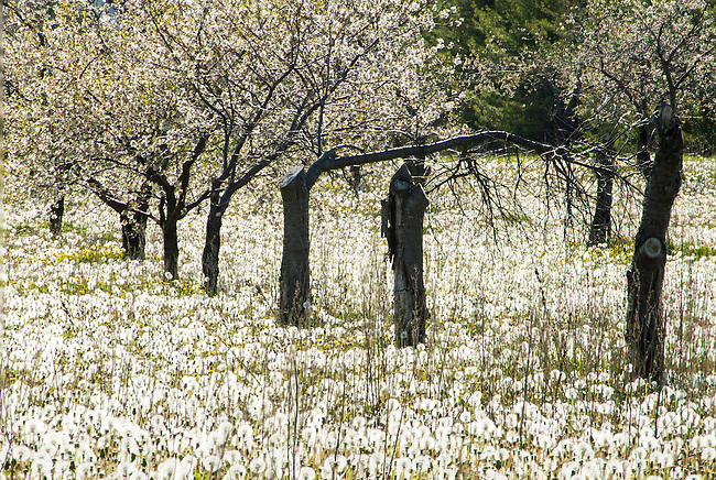 A fallow orchard is still producing cherry blossoms and dandelion blossoms although the dandelion blossoms all past their bloom and in seed now match the white of the cherry blossoms, Door County, Wisconsin