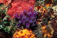 Blue Bell Tunicate, Clavelina puertosecensis nestled between sponges, St. Thomas, U.S. Virgin Islands, Caribbean