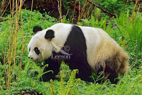 Giant Panda (Ailuropoda melanoleuca) walking in bamboo forest, Wolong Nature Reserve in the Qionglai Mountains, Sichuan Province of central China.