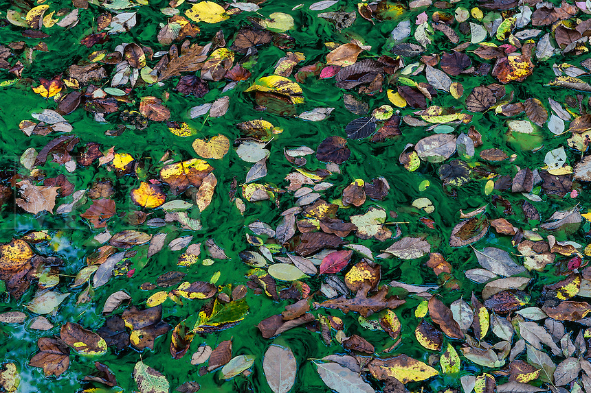 Autumn leaves in a pond of green algae.