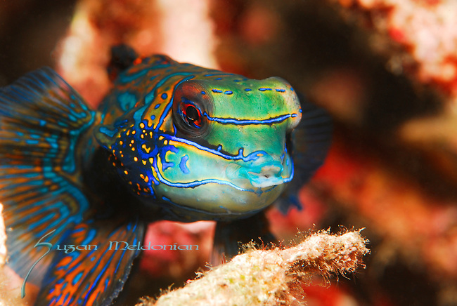 Mandarinfish, Synchiropus splendidus, Lembeh Straits, Sulawesi Sea, Indonesia, Amazing Underwater Photography