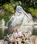 Pink-backed pelican  (Pelecanus rufescens), a native of Africa and southern India, photographed in the lagoon at the San Diego Safari Park