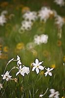 Europe/France/Midi-Pyrénées/12/Aveyron/Env de Laguiole: Flore - Narcisses dans les pâturages d'Aubrac