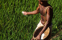INDIA Karnataka, farmer apply synthetic fertilizer in rice paddy field / INDIEN Karnataka, Taccode, Farmer verstreut agrochemischen Duenger im Reisfeld