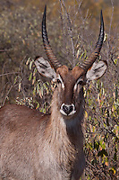 Waterbuck male (Kobus Ellipsiprymnus)..Portrait..June 2009, winter..Balule Private Nature Reserve, York section..Greater Kruger National Park, Limpopo, South Africa.