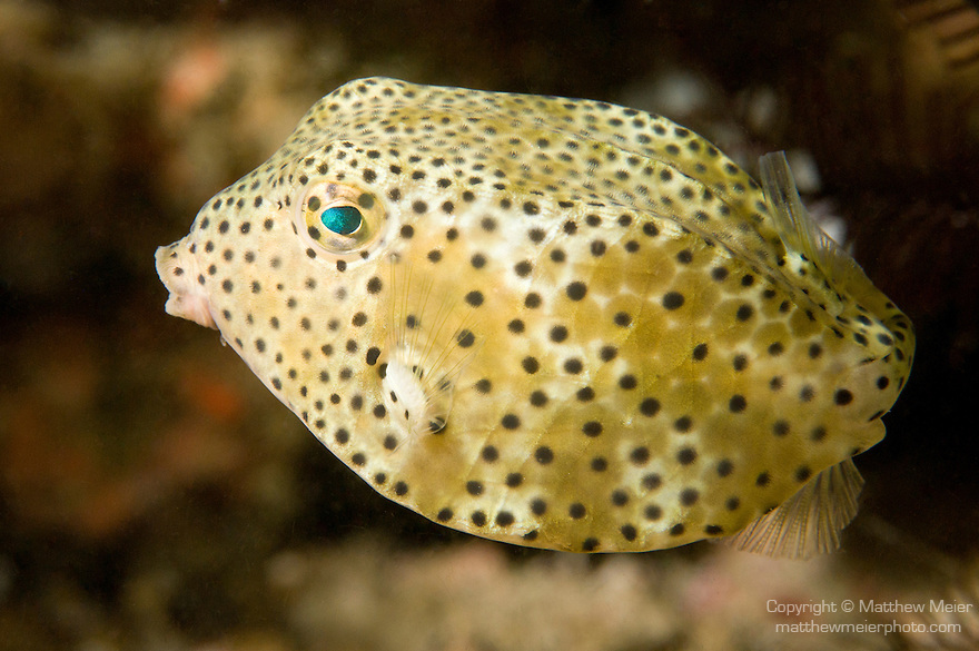 Anilao, Philippines; a solitary, juvenile Yellow Boxfish (Ostracion cubicus) swimming over the coral reef