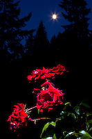 Red Roses with moon glowing in twilight sky with silhoutte of trees