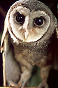 Southern Sooty Owl (Tyto tenebricosa) from Coolangatta, Qld