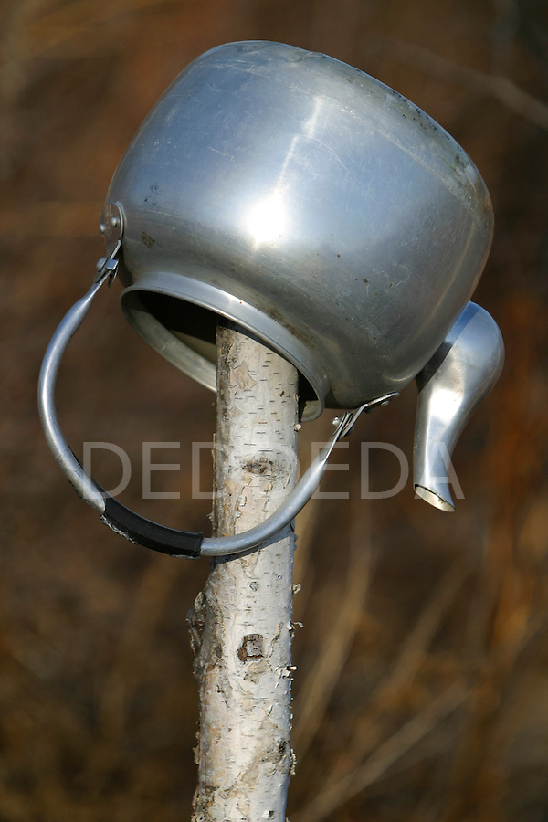 A teapot hangs outside on a birch tree in teh Vuntut Gwitchin First nation of Old Crow, Yukon Territory, Canada.