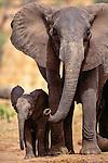 African elephant and calf, Tarangire National Park, Tanzania