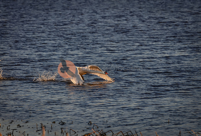 Mute Swan taking off in flight from water at sunset
