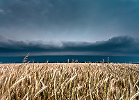 Golden wheat field beneath an approaching gust front near Goodland, KS