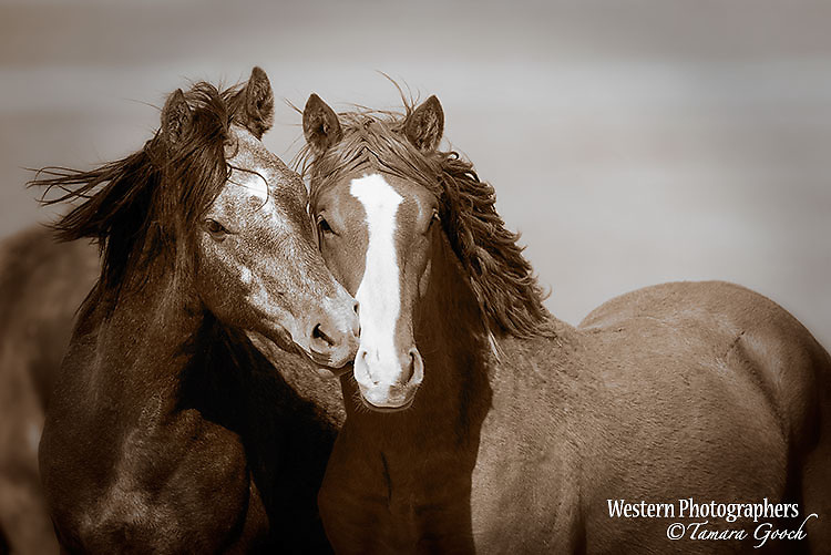 A photo of two wild mustang mares nuzzling one another.