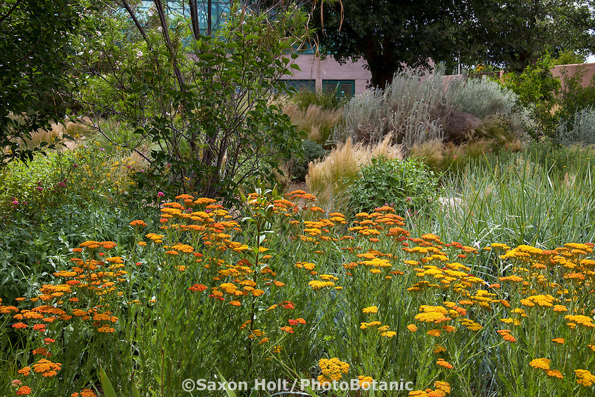 Achillea millefolium 'Terra Cotta', flowering perennial yarrow in meadow, lawn substitute  in the Xeric Garden at Rio Grande Botanic Garden