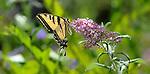 Western Tiger Swallowtail Butterfly. Pterourus rutulus.August 1, 2012. © Fitzroy Barrett.
