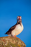 Atlantic puffin, Fratercula arctica, adult with sand eels, Isle of May, firth of Forth, Scotland, United Kingdom, Great Britain, British Isles, North Atlantic Ocean
