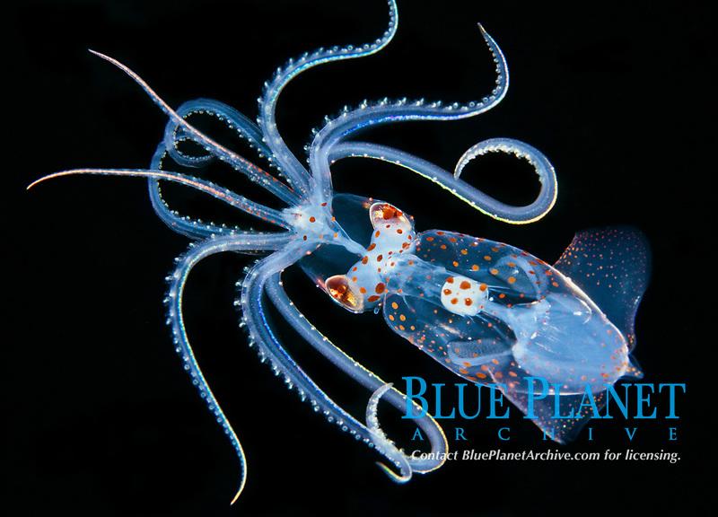 sharpear enope squid paralarva, Ancistrocheirus lesueurii, found during offshore blackwater dive in Kona Coast, Big Island, Hawaii, USA, Pacific Ocean