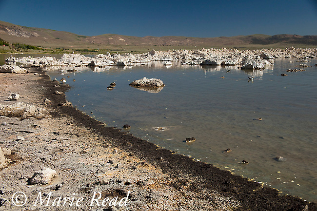Swarms of Alkali Flies (Ephydra hians) form a dark band along the shore of Mono Lake, California, USA