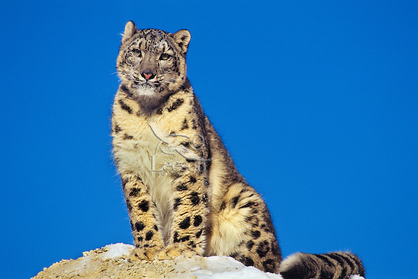 Snow Leopard (Panthera Uncia) or (Uncia uncia).  Endangered Species.
