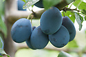 Damson 'Westmorland Prune' (syn. 'Damson Prune', 'Shropshire Damson'), early September. The Westmorland damson is thought to be a type of Shropshire prune (possibly the 'Blue Violet') but improved by the unique conditions in Westmorland and pollination by the wild Bullace and Sloe. Westmorland damsons grow mainly in and around the Lyth and Winster valleys, south-west of Kendal in the English Lake District. http://www.lythdamsons.org.uk