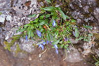 Alpine campanula clings to a rock face, Yatsugatake, Yamanashi, Japan