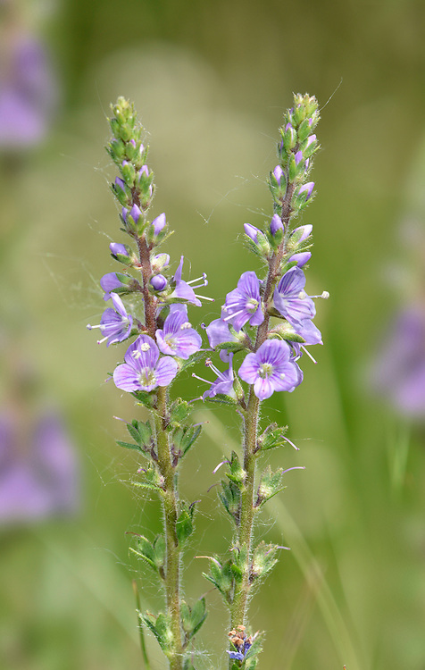 Heath Speedwell - Veronica officinalis