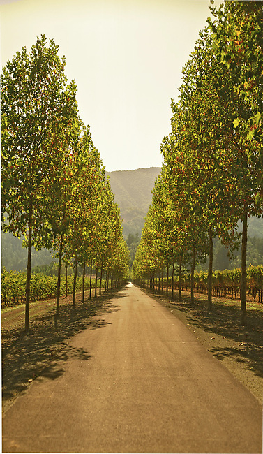 Tree-lined road near Rutherford, Ca