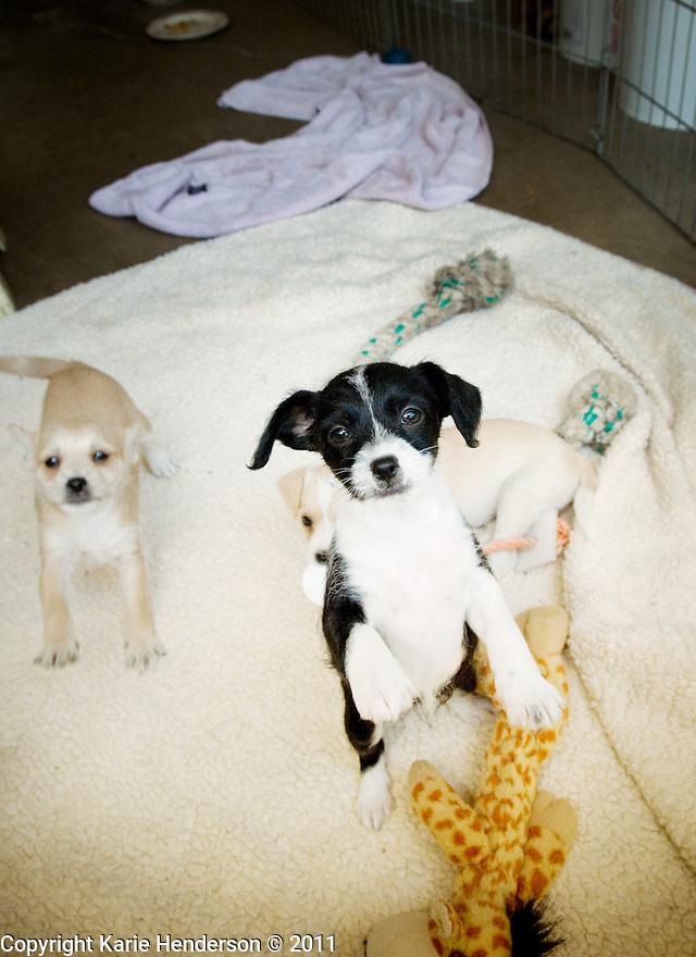 Chihuahua puppies and momma © Karie Henderson 2011