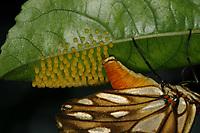Agraulis vanillae &eacute; comum e voa ativamente pelos jardins e &aacute;reas ensolaradas. Com suas nove subesp&eacute;cies tem distribui&ccedil;&atilde;o registrada dos Estados Unidos ao Uruguai (Lamas, 2004). Os adultos podem dormir em grupos semi-dispersos em gram&iacute;neas (Brown, 1992).<br /> Bel&eacute;m, Par&aacute;, Brasil.<br /> Foto Carlos Borges