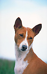 Basenji<br />