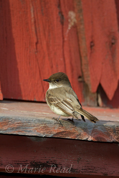 Eastern Phoebe (Sayornis phoebe) perched on a red barn, Ithaca, New York, USA