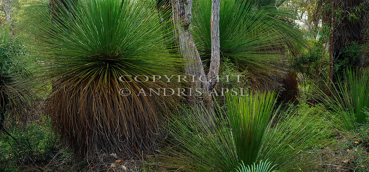 Grass trees near Margaret River. Western Australia. Australia.