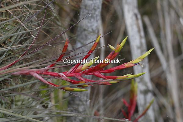 Bromeliad, Tillandsia fasciculata, Everglades National Park, Florida