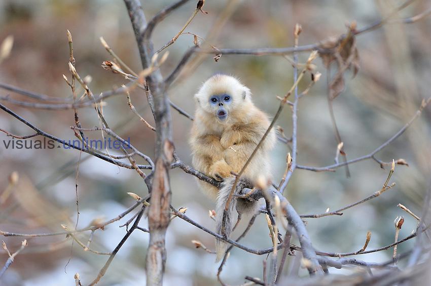 Golden Snub-nosed Monkey (Rhinopithecus roxellana) young, Qinling Mountains, Shaanxi Province, China
